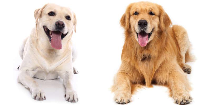 labrador-retriever-vs-golden-retriever